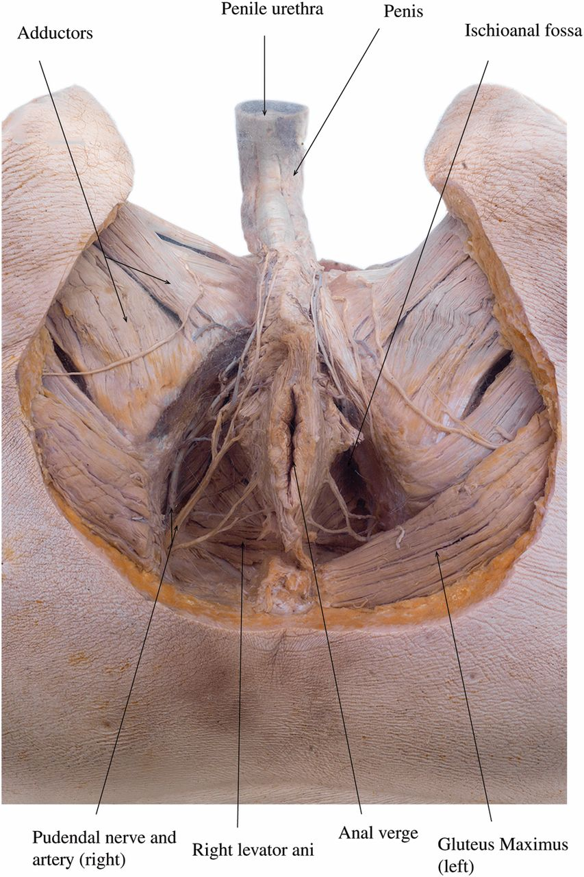 The Surgical Anatomy Of The Perineum Journal Of The Royal Army